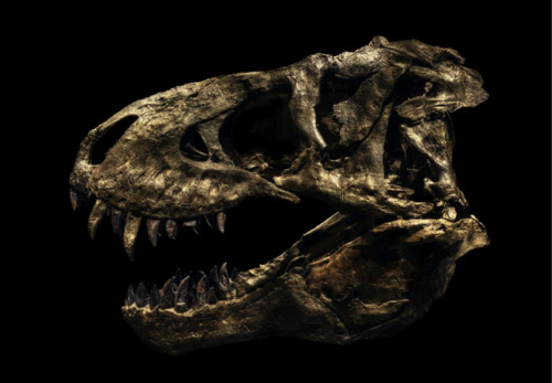 Tyrannosaurus Rex - Tristan